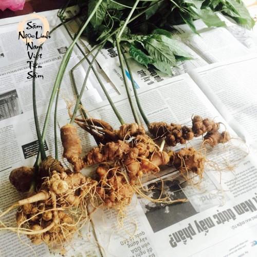 Sâm Ngọc Linh trồng Quảng Nam 7 đến 15 năm