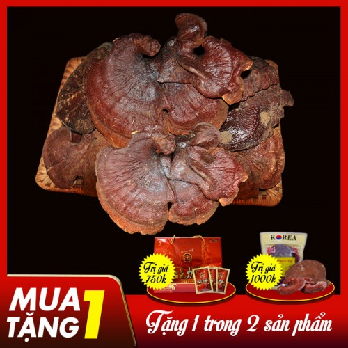 Nấm lim xanh rừng tự nhiên loại 1 Quảng Nam (tai to)-1kg/khay L297