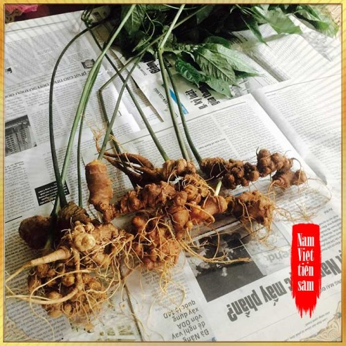 Sâm ngọc linh trồng 5 năm tuổi 11 đến 16 củ/1 kg NS226