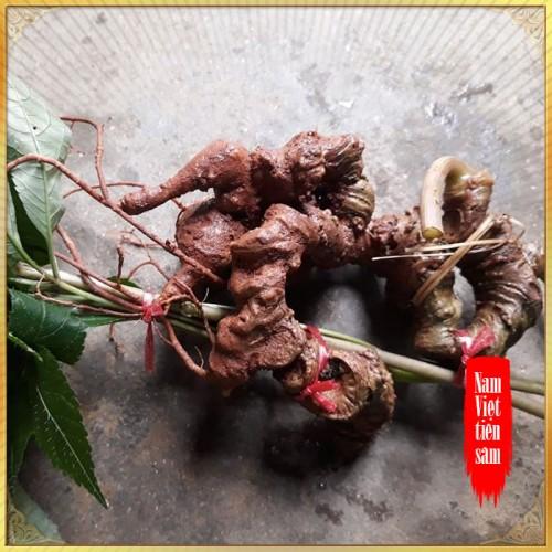 Sâm ngọc linh 8 - 9 năm tuổi 7 đến 10 củ/kg NS355