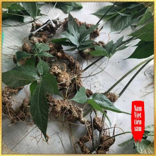 Sâm ngọc linh loại 1/ 1 củ/ 1,3 đến 2 lang - tuổi từ 10 - 20 năm 4 đến 7củ /kg NS180