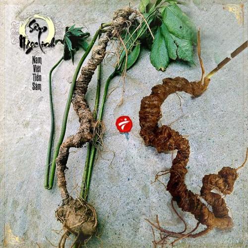 Sâm Ngọc Linh tự nhiên từ 3-7 lạng, dài 50 đến 80 cm 1 củ, tuổi từ 50 đến 80 năm