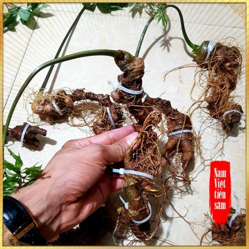 Sâm Ngọc Linh trồng hảo hạng loại 8 củ 1 cân tại Nam Trà My