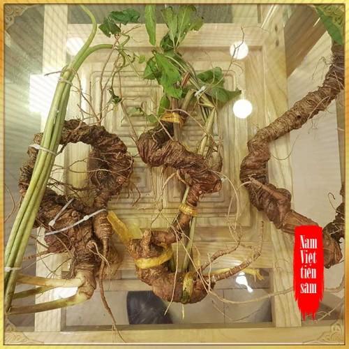 Sâm núi Ngọc Linh loại 5 củ /kg