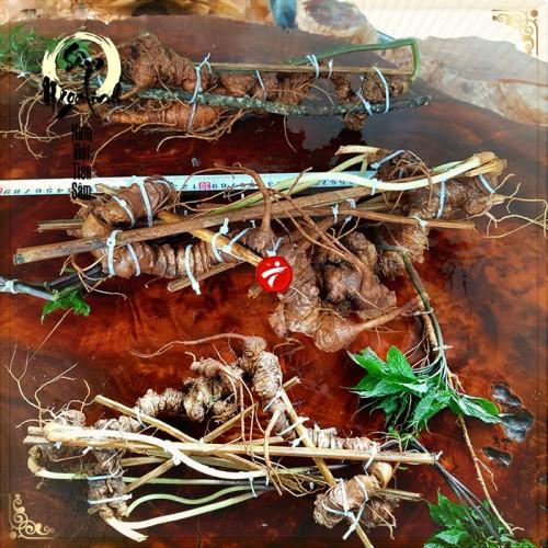 2 củ sâm Ngọc Linh rừng siêu quý hiếm (1 củ khoảng 60 năm tuổi, dài 60 phân)