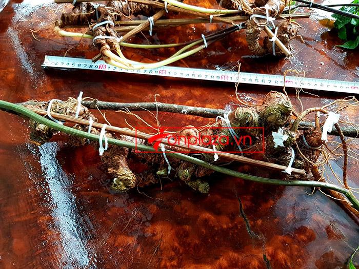 2 củ sâm Ngọc Linh rừng siêu quý hiếm (1 củ khoảng 60 năm tuổi, dài 60 phân) 6