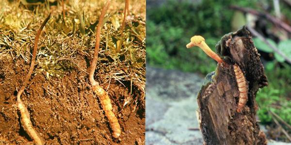 Đông trùng hạ thảo là loại thượng dược bảo vệ hệ tiêu hóa hoàn chỉnh