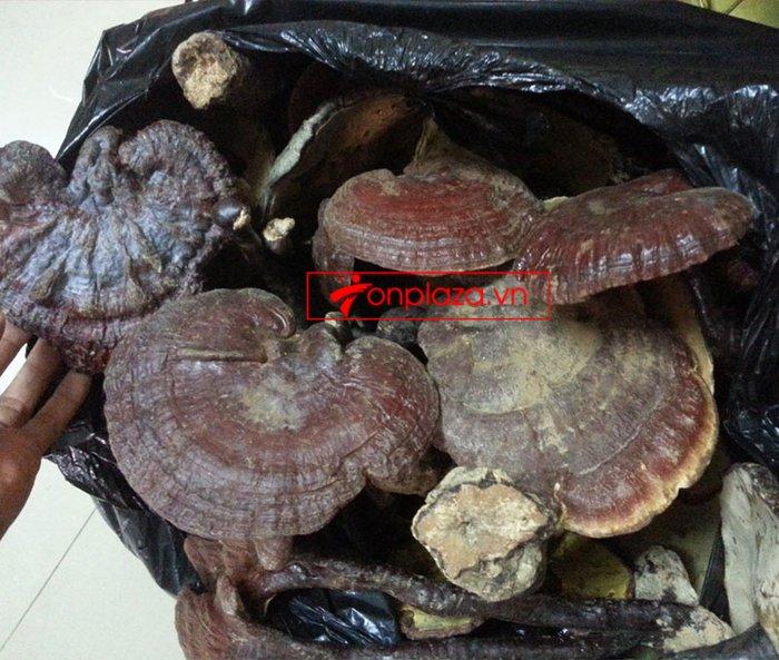 Nấm lim xanh rừng tự nhiên loại 1 Quảng Nam (tai to)-1kg/khay L297 14