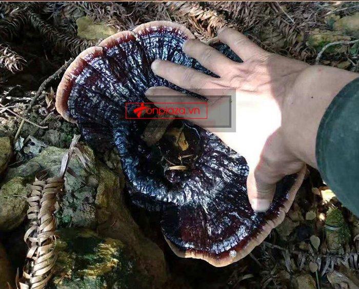 Nấm lim xanh tự nhiên Quảng Nam tai nhỏ hộp 1kg L309 13