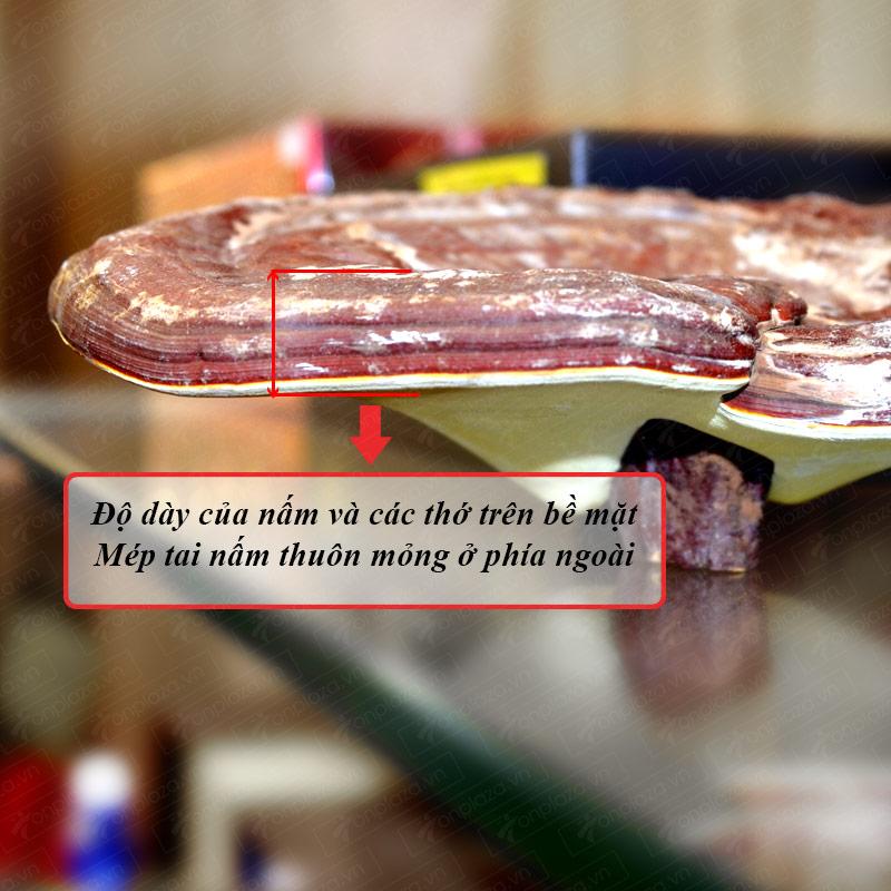 Nấm linh chi vàng thượng hạng đặc biệt túi L038 8
