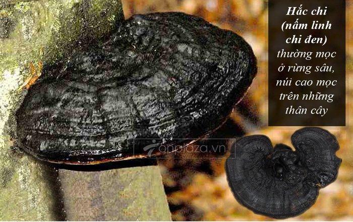 Nấm rừng hắc linh chi ( loại to) L043 3