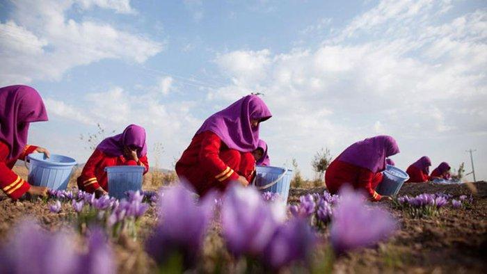 Nhụy Hoa Nghệ tây Iran Sahar Khiz loại 2 g cao cấp NT009 1