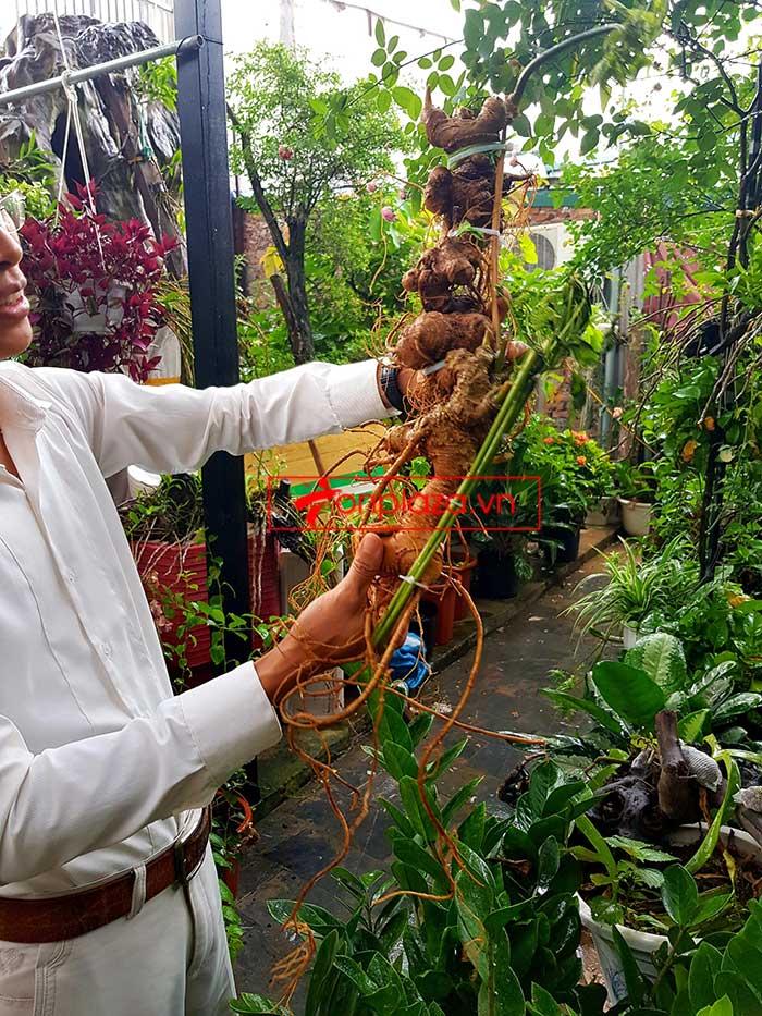 Củ sâm Ngọc Linh loại thượng hạng dài 55cm, khoảng 40 năm tuổi  1
