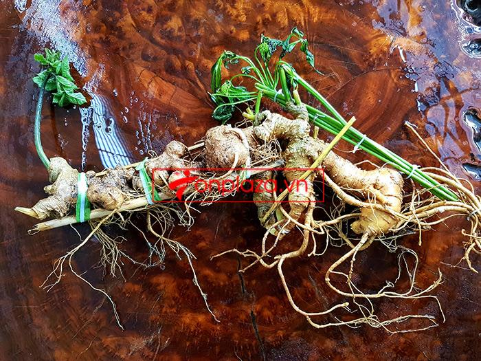 Củ sâm Ngọc Linh loại thượng hạng dài 55cm, khoảng 40 năm tuổi  3