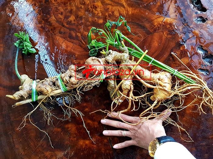 Củ sâm Ngọc Linh loại thượng hạng dài 55cm, khoảng 40 năm tuổi 5