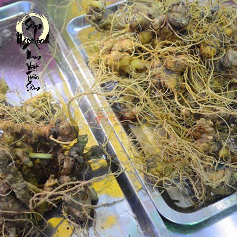 Sâm Ngọc Linh trồng 20 củ 1 cân