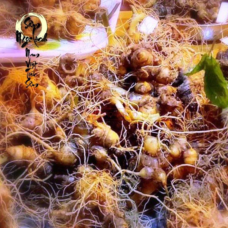 Sâm Ngọc Linh trồng hàng 30 đến 60 củ 1 cân