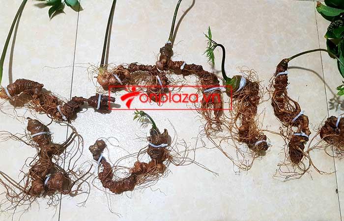 Sâm Ngọc Linh trồng hảo hạng loại 8 củ 1 cân tại Nam Trà My 1