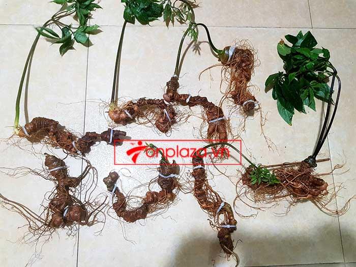 Sâm Ngọc Linh trồng hảo hạng loại 8 củ 1 cân tại Nam Trà My 3