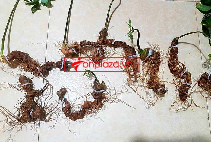 Sâm Ngọc Linh trồng hảo hạng loại 8 củ 1 cân tại Nam Trà My 4