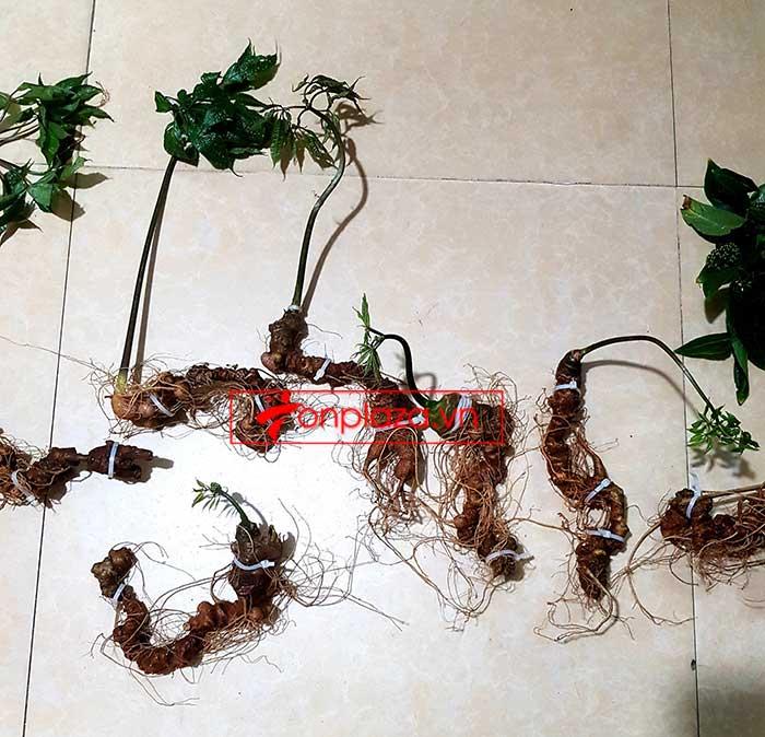 Sâm Ngọc Linh trồng hảo hạng loại 8 củ 1 cân tại Nam Trà My 5