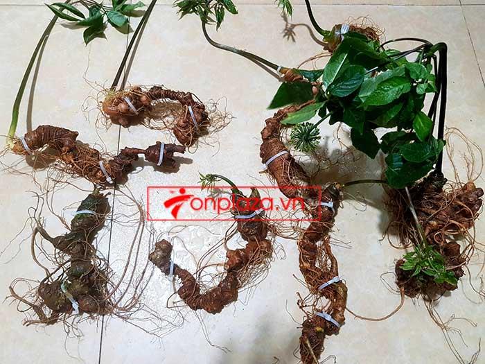 Sâm Ngọc Linh trồng hảo hạng loại 8 củ 1 cân tại Nam Trà My 6
