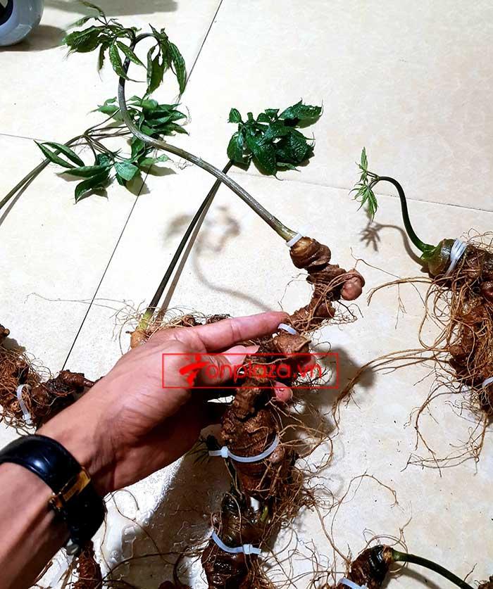 Sâm Ngọc Linh trồng hảo hạng loại 8 củ 1 cân tại Nam Trà My 7
