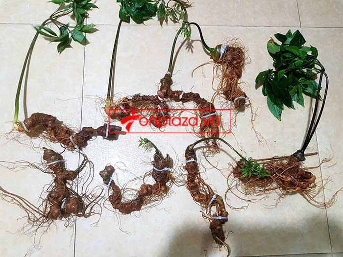 Sâm Ngọc Linh trồng hảo hạng loại 8 củ 1 cân tại Nam Trà My 9
