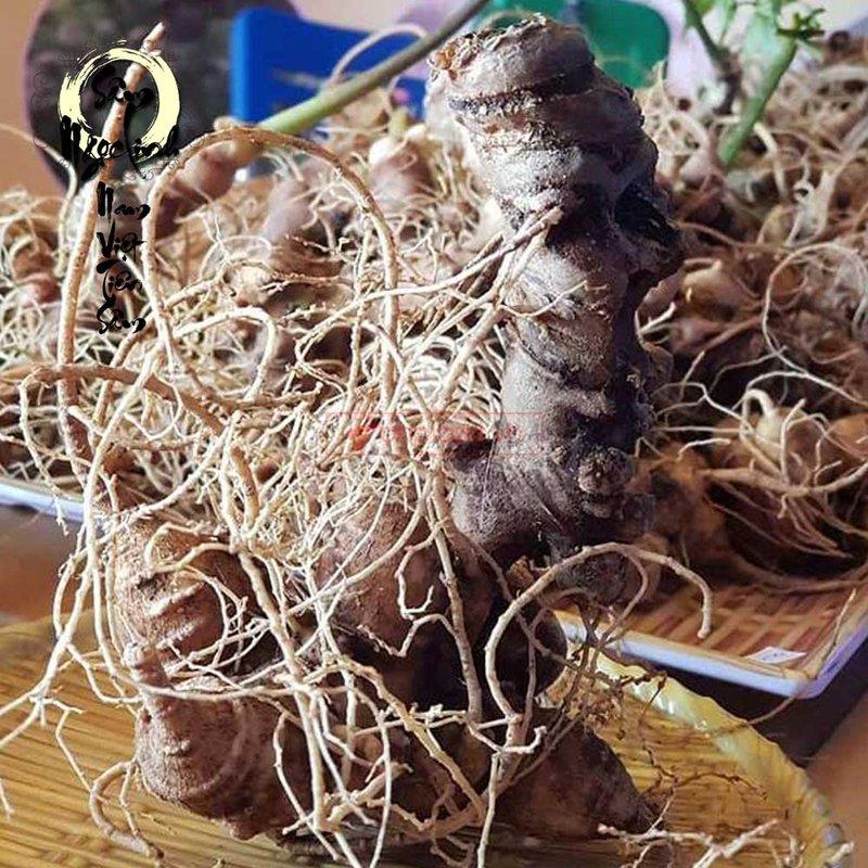 Sâm Ngọc Linh trồng loại 5 củ 1 cân loại 1 thượng hạng