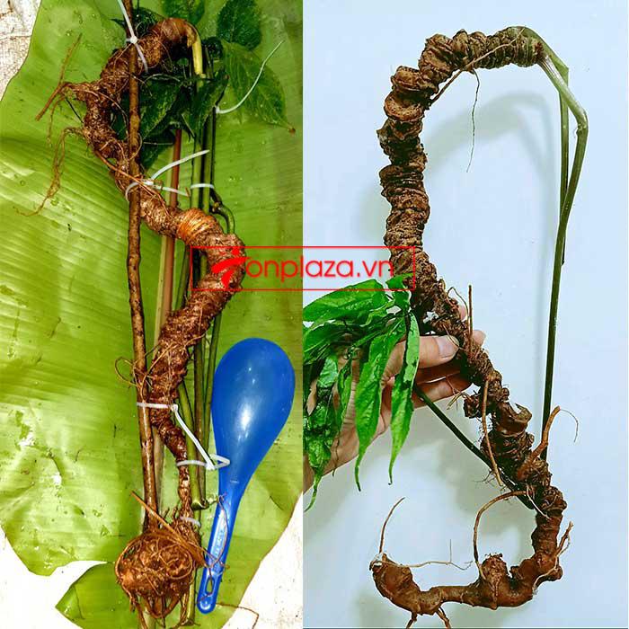 Sâm Ngọc Linh tự nhiên từ 3-7 lạng, dài 50 đến 80 cm 1 củ, tuổi từ 50 đến 80 năm 1