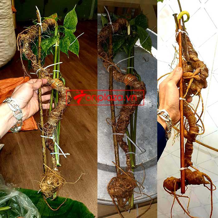 Sâm Ngọc Linh tự nhiên từ 3-7 lạng, dài 50 đến 80 cm 1 củ, tuổi từ 50 đến 80 năm 2
