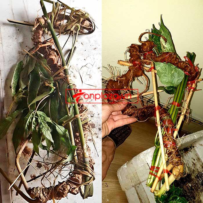 Sâm Ngọc Linh tự nhiên từ 3-7 lạng, dài 50 đến 80 cm 1 củ, tuổi từ 50 đến 80 năm 3