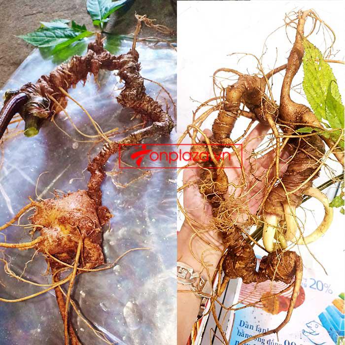 Sâm Ngọc Linh tự nhiên từ 3-7 lạng, dài 50 đến 80 cm 1 củ, tuổi từ 50 đến 80 năm 4