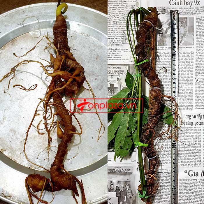 Sâm Ngọc Linh tự nhiên từ 3-7 lạng, dài 50 đến 80 cm 1 củ, tuổi từ 50 đến 80 năm 5