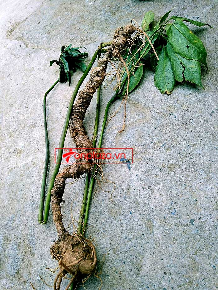 Sâm Ngọc Linh tự nhiên từ 3-7 lạng, dài 50 đến 80 cm 1 củ, tuổi từ 50 đến 80 năm 6