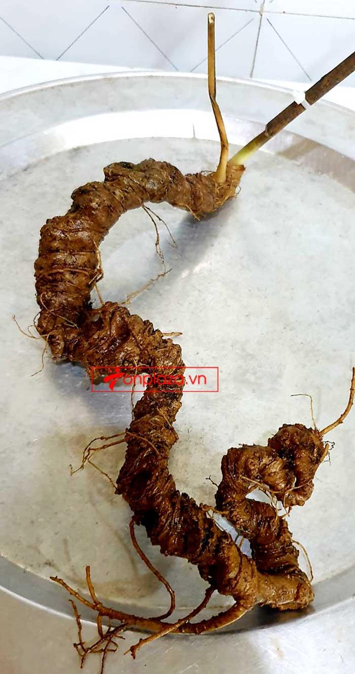 Sâm Ngọc Linh tự nhiên từ 3-7 lạng, dài 50 đến 80 cm 1 củ, tuổi từ 50 đến 80 năm 8