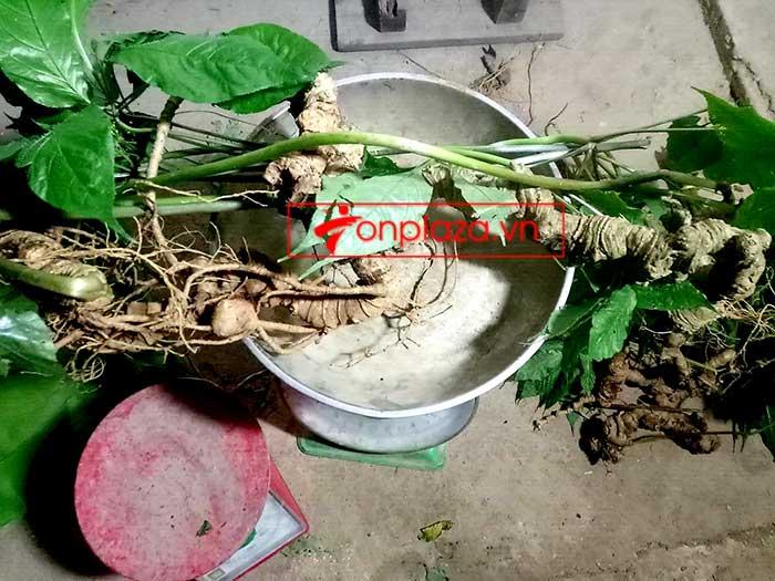 Sâm Ngọc Linh tự nhiên từ 3-7 lạng, dài 50 đến 80 cm 1 củ, tuổi từ 50 đến 80 năm 9