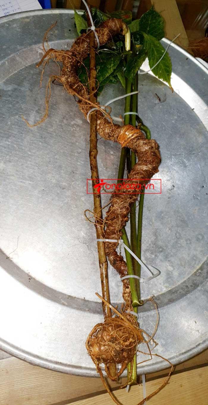 Sâm Ngọc Linh tự nhiên từ 3-7 lạng, dài 50 đến 80 cm 1 củ, tuổi từ 50 đến 80 năm 11