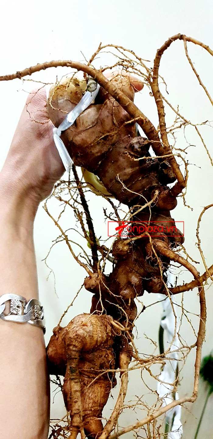 Sâm Ngọc Linh tự nhiên từ 3-7 lạng, dài 50 đến 80 cm 1 củ, tuổi từ 50 đến 80 năm 12