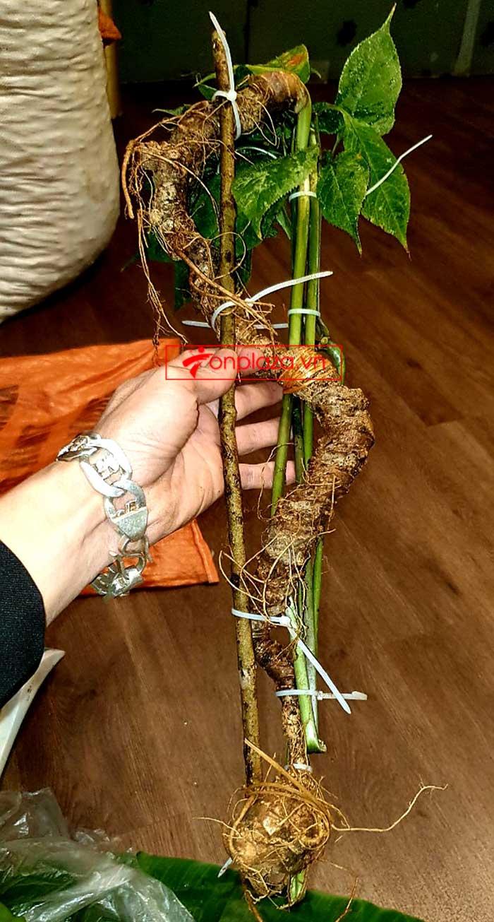 Sâm Ngọc Linh tự nhiên từ 3-7 lạng, dài 50 đến 80 cm 1 củ, tuổi từ 50 đến 80 năm 13