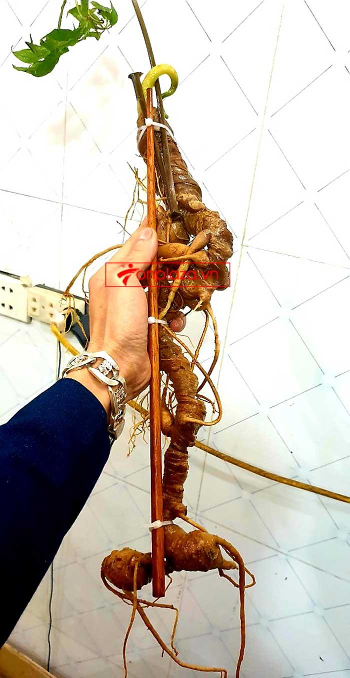 Sâm Ngọc Linh tự nhiên từ 3-7 lạng, dài 50 đến 80 cm 1 củ, tuổi từ 50 đến 80 năm 14
