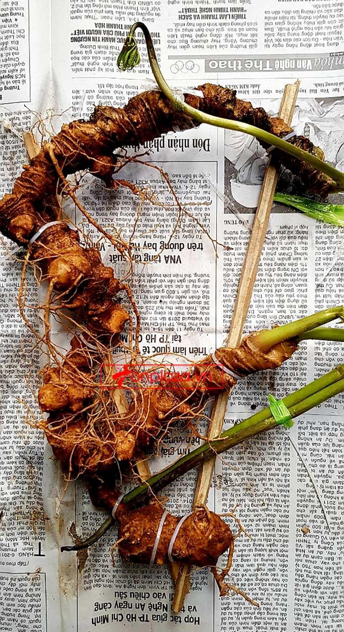 Sâm Ngọc Linh tự nhiên từ 3-7 lạng, dài 50 đến 80 cm 1 củ, tuổi từ 50 đến 80 năm 15