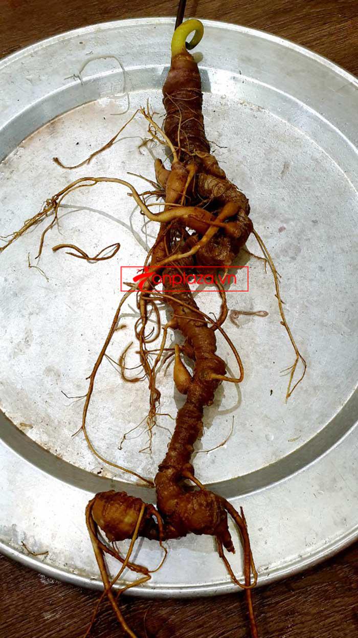 Sâm Ngọc Linh tự nhiên từ 3-7 lạng, dài 50 đến 80 cm 1 củ, tuổi từ 50 đến 80 năm 19