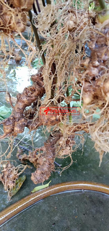 Sâm Ngọc Linh tự nhiên loại củ nhỏ 12