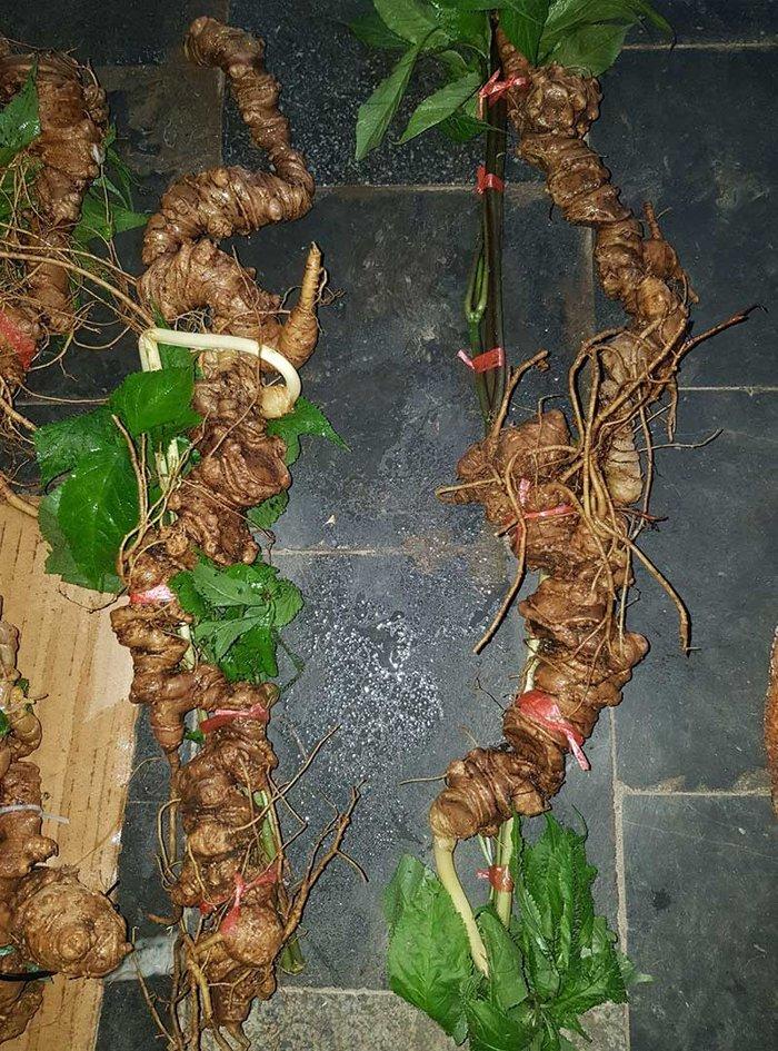 Sâm núi Ngọc Linh tự nhiên Quảng Nam loại 6 lạng 1 củ 3