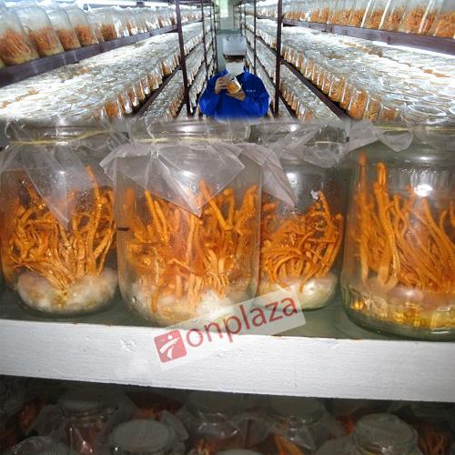 Nơi sản xuất nấm đông trùng hạ thảo tươi việt nam